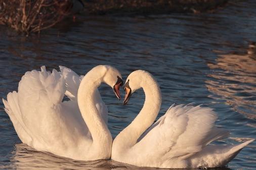 swans-2116649_640